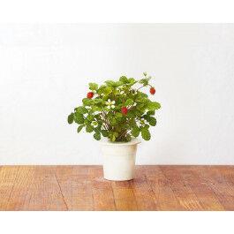 Recharge triple de Fraises des bois pour jardin d'intérieur Smart Garden 3 - Click and Grow